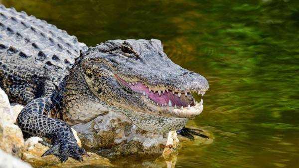 Alligator blood inhibits key toxin in snake venom, study shows