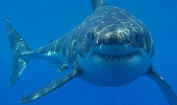 Sharks' 'Sixth Sense' Explains Their Life Within Active Submarine Volcano