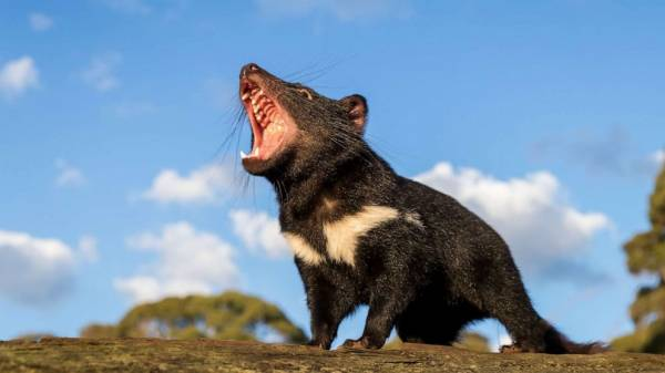 Tasmanian devils reintroduced into Australia's mainland for 1st time in 3,000 years