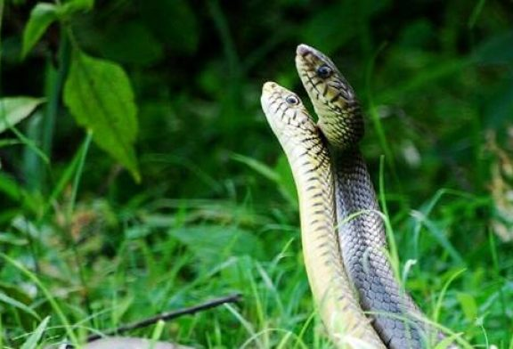 Invasion of Snakes Threatening Millions of Australians