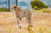 African Cheetahs to Roam Indian Jungles This Year 60 Years After Extinction