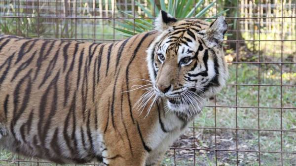 Alarmed by 'Tiger King,' senators propose ban on private ownership of big cats
