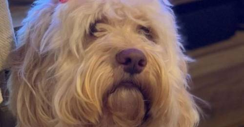 Labradoodle found covered in blood lost an eye 'after being shot in the face'
