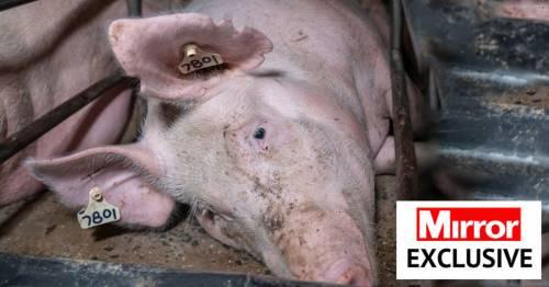 Inside grim Australia farms run on 'cruel' animal welfare to supply meat to UK – World News