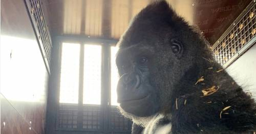 UK-born 30st gorilla goes from Kent to Congo in fight to save species from extinction – World News