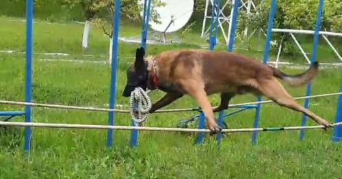 Talented police dog can walk tightrope blindfolded and hold breath underwater - World News