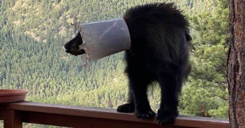 Bear finally freed after getting chicken feeder stuck on its head and neck for a week