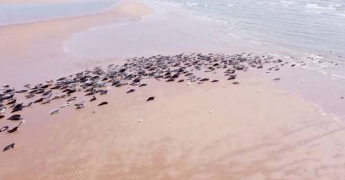 Police hunt drone operators who scared entire seal colony on beach causing stampede