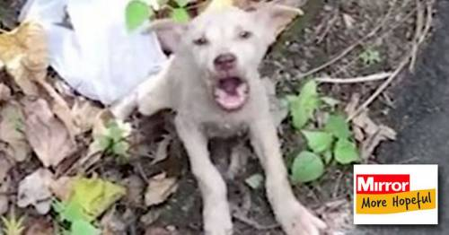Remarkable video shows amazing transformation of skeletal abandoned puppy