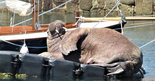 Wally the Walrus struggles in heat as Brits warned disturbing him is criminal offence