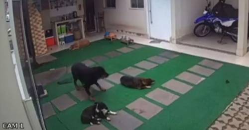 Four sleeping dogs attacked by swarm of killer bees with two dying from shock - World News
