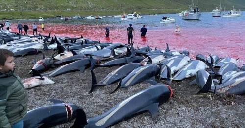 Faroe Islands host biggest ever dolphin massacre as fishermen kill 1,428 animals – World News