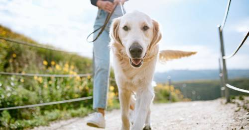 Missing socks, sass and happy ears – 12 things you only know if you have a golden retriever