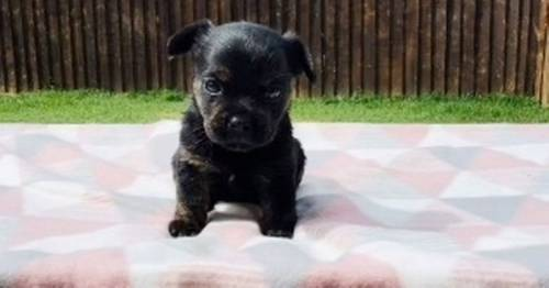 Owner's £600 'purebred French bulldog' turns out to be a completely different breed
