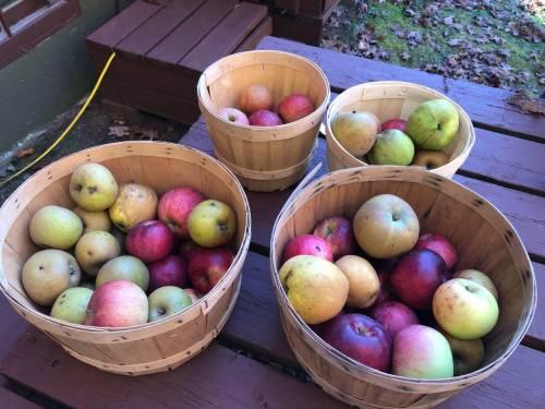 Meet the Keswick Ridge, N.B., farmer growing apples as old as King Louis XIII